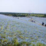<!--:es-->Parque Marítimo de Hitachi: un Tsunami Floral<!--:--><!--:en-->Hitachi's Seaside Park: a Floral Tsunami<!--:-->