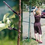 <!--:es-->Arboles frutales ilegales por Guerrilla Grafters<!--:--><!--:en-->Illegal fruit-bearing street trees by Guerrilla Grafters<!--:-->